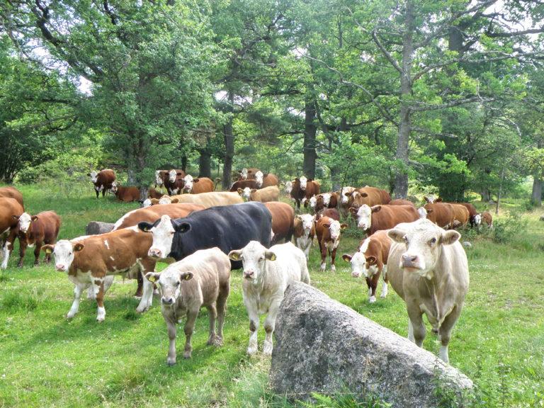 Kor i Tinnerö